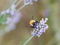 Bee on flower (9516932463).jpg