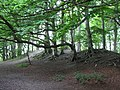 Beech trees at Sharpenhoe Clappers - August 2009 - panoramio.jpg
