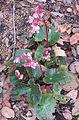 Begonia erythrophylla (14196384327).jpg