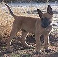 Belgian Malinois Puppy.jpg
