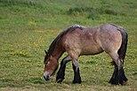 Belgisk hest.jpg