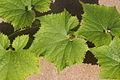 Benincasa pruriens in Guangfeng 2012.10.27 13-04-45.jpg
