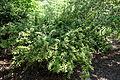 Berberis julianae 'Nana' - Arnold Arboretum - DSC06946.JPG