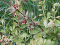 Berberis thunbergii fruit 1.JPG