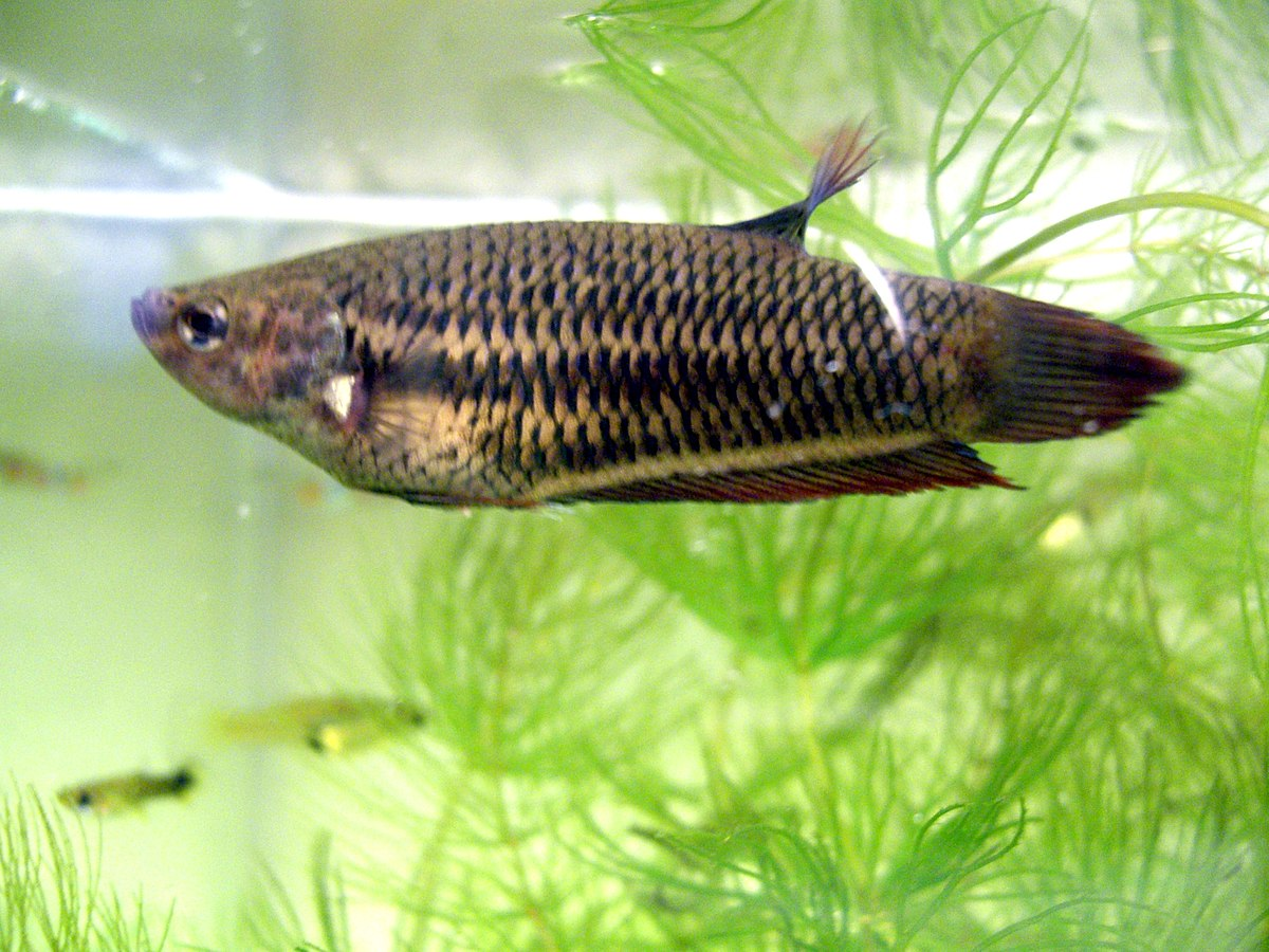 Betta splendens simple english wikipedia the free for Female betta fish names