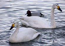 Bewicks.swan.slimbridge.arp.jpg