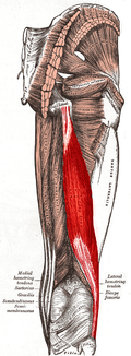 Biceps femoris muscle long head.PNG