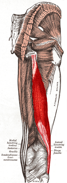 File:Biceps femoris muscle long head.PNG