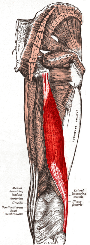 Biceps femoris muscle - Posterior view of right leg. Long head of muscle highlighted in red, short head labeled in the lower part of the image