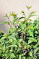Bidens tripartita trifid Bur Marigold ორკბილა (2).JPG