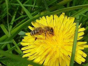 Biene beim Pollensammeln auf Löwenzahn.JPG