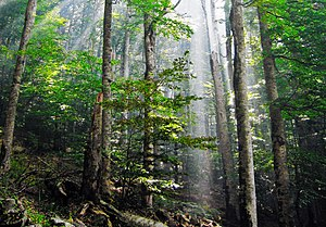 Old-growth forest - Old-growth European Beech forest in Biogradska Gora National Park, Montenegro