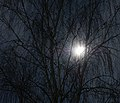 Birch in the moon light - Birke im Mondlicht - Betula pendula.jpg