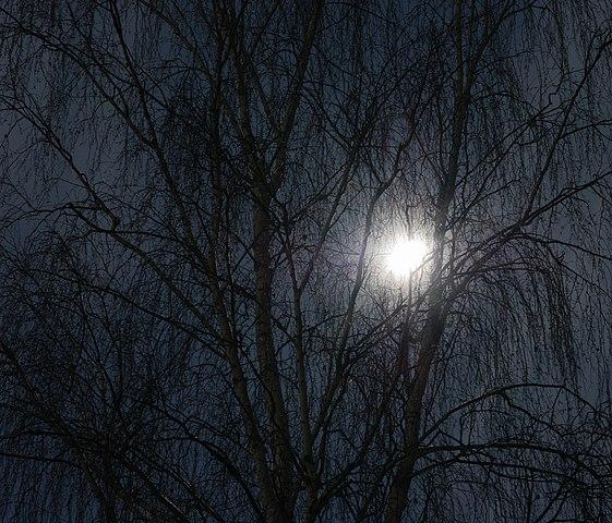 file birch in the moon light birke im mondlicht betula. Black Bedroom Furniture Sets. Home Design Ideas