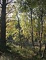 Birches - geograph.org.uk - 260674.jpg