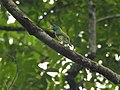Bird Blue throated barbet 03.jpg