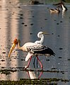 Birds At Chennai (181959639).jpeg