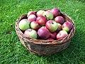 Birgit Bonnier äpplen i korg.jpeg