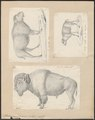 Bison americanus - 1700-1880 - Print - Iconographia Zoologica - Special Collections University of Amsterdam - UBA01 IZ21200225.tif