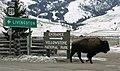 Bison in Gardiner, MT. (2b818a2b-7f0b-42ec-a174-70c7fe4c0702).jpg