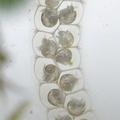 Bithynia tentaculata eggs.png