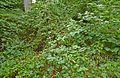 Björnbär i Fyrbyn, Gotska Sandön-IMG 5014.jpg