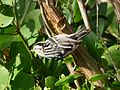 Black-and- White Warbler. Mniotilta varia (4) - Flickr - gailhampshire.jpg