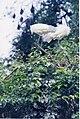 Black-headed Ibis pair at Ranganathittu bird sanctuary.jpg