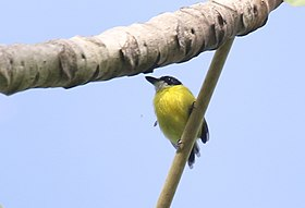Black-headed tody-flycatcher2.jpg