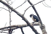 Black-thighed Falconet.jpg