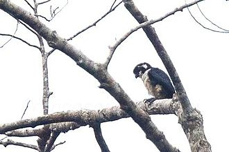 Black-thighed falconet - Image: Black thighed Falconet