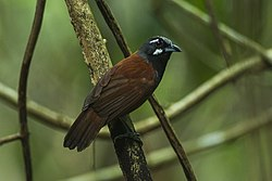 Black-throated Babbler - South Thailand S4E3847 (18926426903).jpg