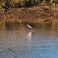 Black-winged stilt pond near Burke River Boulia Queensland P1030816.jpg