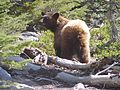 Black Bear- Ursus americanus (9403810822).jpg