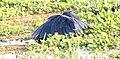 Black Egret (Egretta ardesiaca) (46497094022).jpg