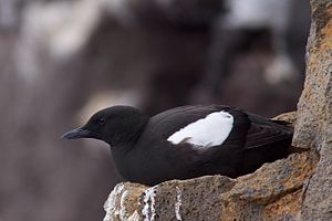 Black guillemot - Black guillemot resting on a cliff in Reykjanes, Iceland