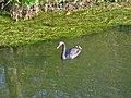 Black Swan River Avon Woodgreen Hampshire - geograph.org.uk - 273357.jpg