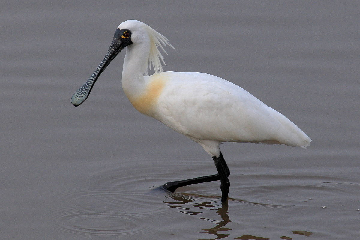 Image result for Black-faced Spoonbill