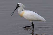 Black faced spoonbill at Niigata.JPG