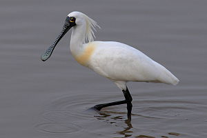 Spoonbill - Image: Black faced spoonbill at Niigata