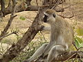 Black faced vervet monkey Chlorocebus pygerythrus in Tanzania 0740 Nevit.jpg