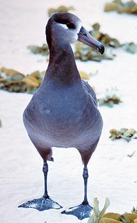 Unlike most Procellariiformes, albatrosses, like this Black-footed Albatross, can walk well on land.