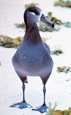Albatross - Unlike most Procellariiformes, albatrosses, like this black-footed albatross, can walk well on land.
