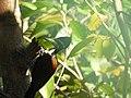 Black rumped flameback-1-kiliyur-yercaud-salem-India.jpg
