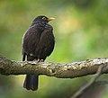 Blackbird (28961035956).jpg