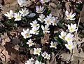 Bloodroot (Sanguinaria canadensis) - Flickr - Jay Sturner (6).jpg