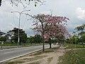 Blossom Flowers at Persiaran Klang, Shah Alam - panoramio.jpg