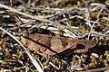 Blue-winged Grasshopper - Oedipoda caerulescens (20849744340).jpg