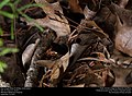 Blue-winged Wasp (Scoliidae, Scolia dubia) (29596356893).jpg