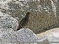Blue Rock Thrush (Monticola solitarius) (30552509736).jpg
